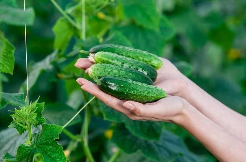 Выращивание огурца журавленок