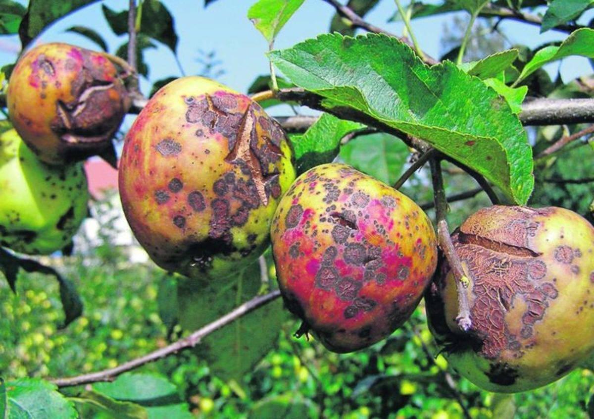 Что делать, если появились ржавые пятна на листьях яблони и как их лечить? советы агрономов