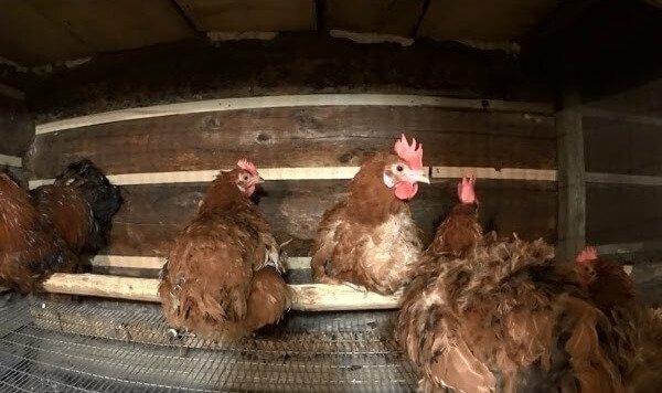 Рекомендации по разведению кур в домашних условиях: как правильно выбрать породу и ухаживать за птицами, чтобы получить максимальный результат?