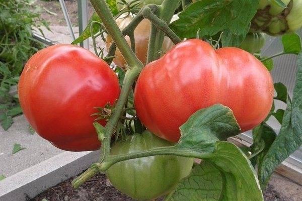 Сорт томата «король сибири»: фото, видео, отзывы, описание, характеристика, урожайность