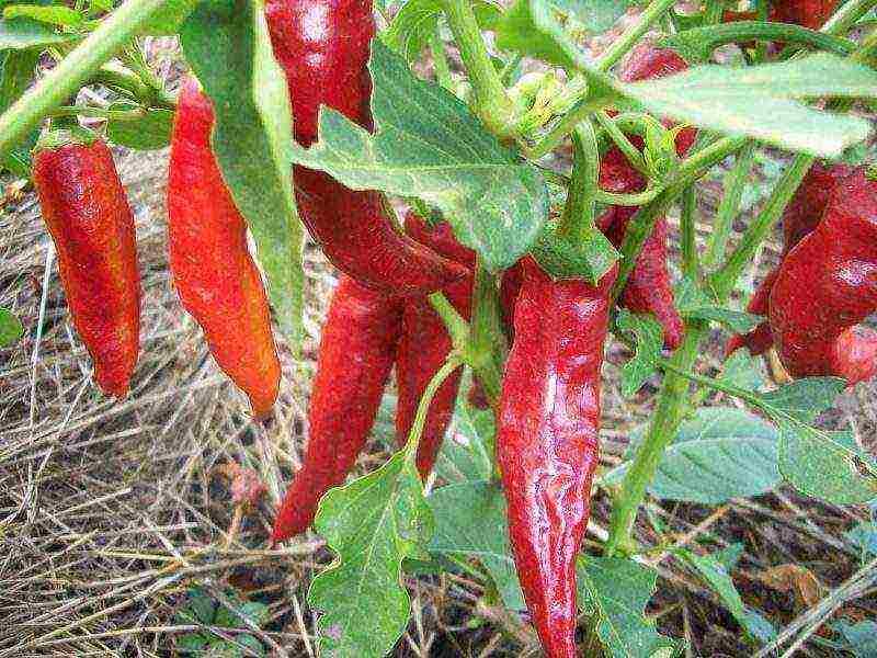 Рассмотрим перец острый: выращивание из семян, когда сажать в домашних условиях, уход за рассадой