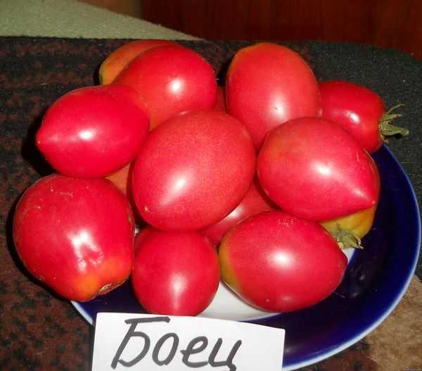 Как вырастить помидоры боец (буян)