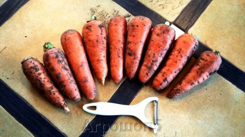 Характеристика и урожайность сорта моркови канада