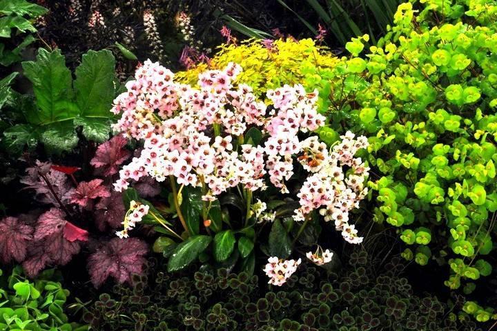 Растение бадан: описание, лечебные свойства и противопоказания