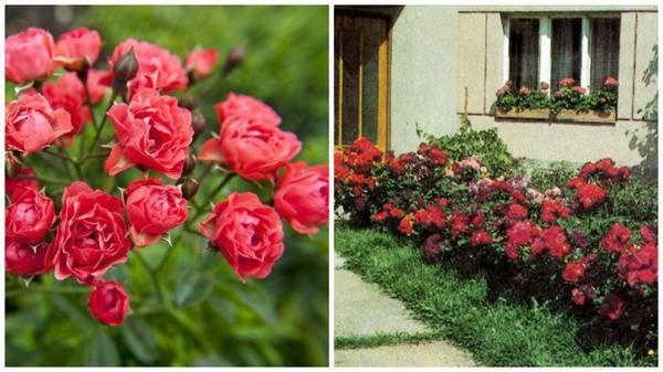 Роза полиантовая: описание, сорта, посадка, уход