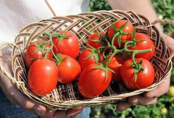 Томат бенито: описание сорта и 4 особенности агротехники