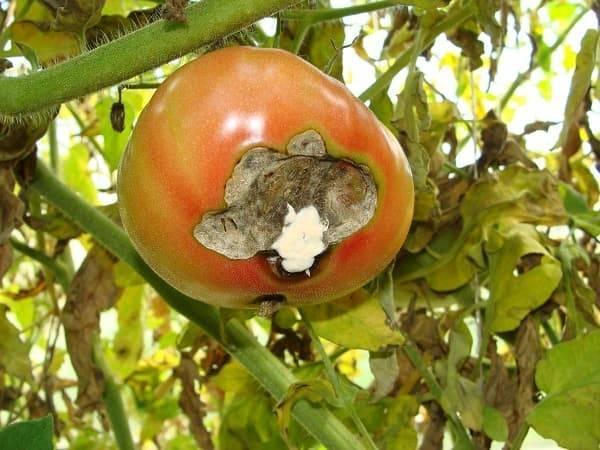 Проверенные методы борьбы с гнилью на помидорах в теплице