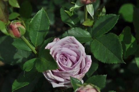 Плетистая роза «индиголетта»: описание сорта, правила посадки и ухода