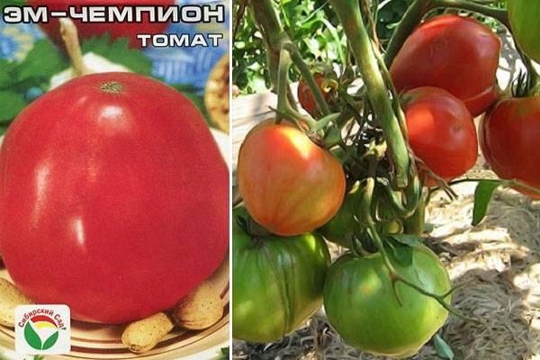 Морозоустойчивый сорт томата «эм чемпион»: описание, характеристика, посев на рассаду, подкормка, урожайность, фото, видео и самые распространенные болезни томатов