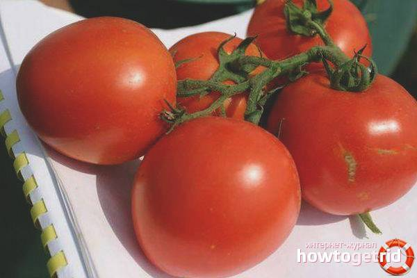 Томат джина — характеристика и описание сорта