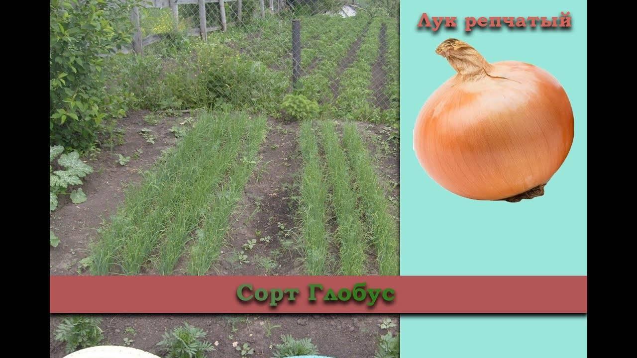 Лук халцедон: описание сорта, выращивание из семян