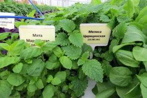Чем отличается мелисса от мяты по внешнему виду, запаху и вкусу, куда добавляют растения