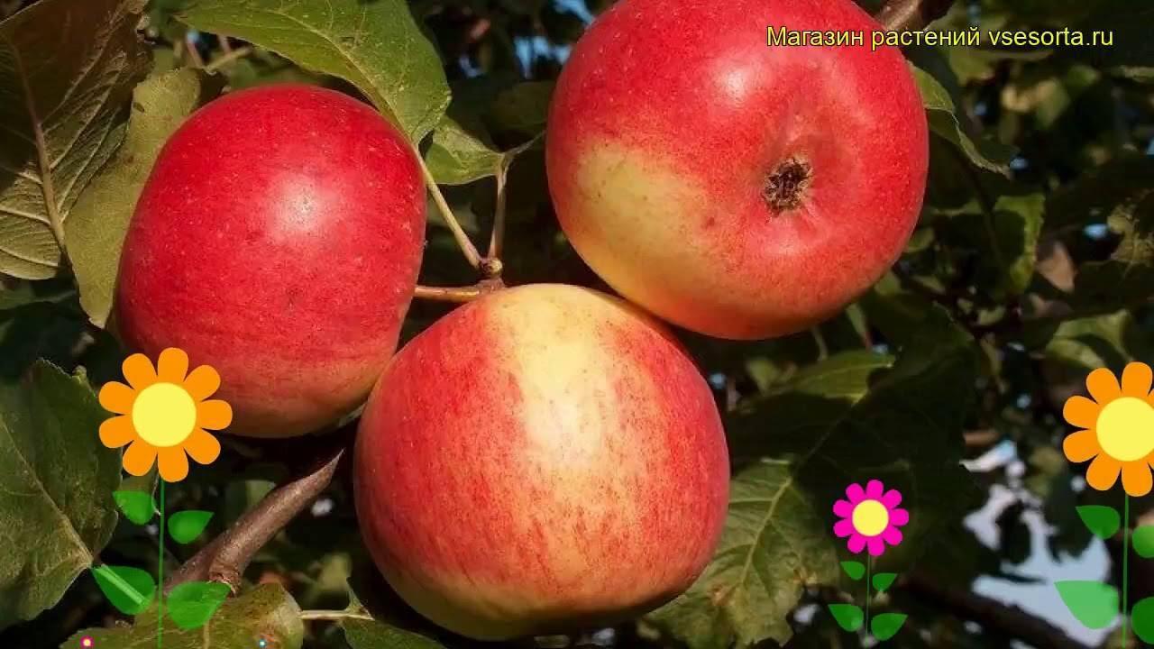Яблоня серебряное копытце — описание сорта, фото, отзывы