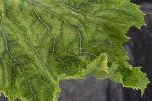 Почему желтеют, сохнут и скручиваются листья огурцов?