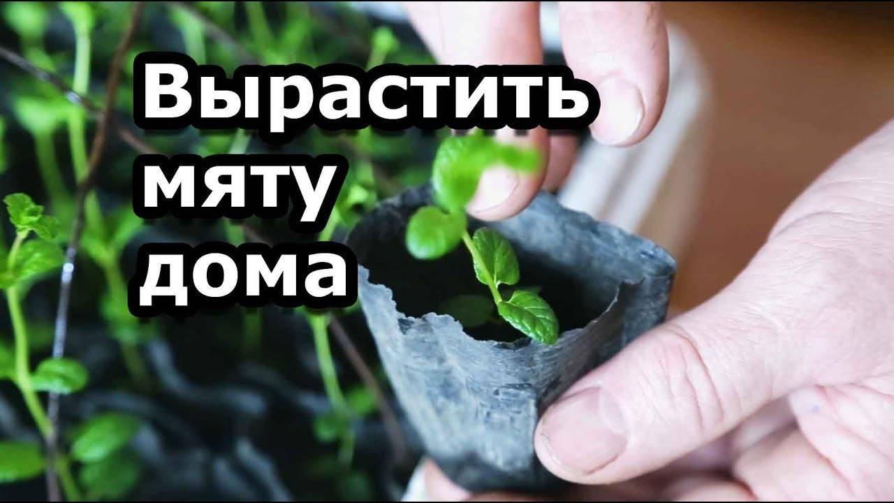 Как правильно вырастить душицу (орегано) из семян — полезные советы по уходу и посадке