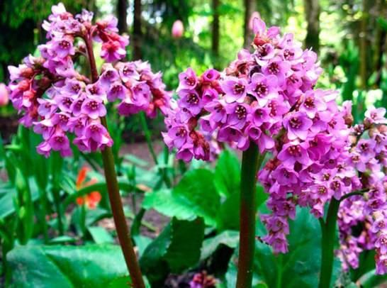Лечебные свойства и противопоказания корня бадана