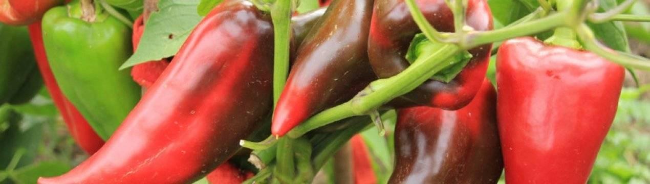 Характеристика перца «богатырь»: описание сорта, фото, отзывы