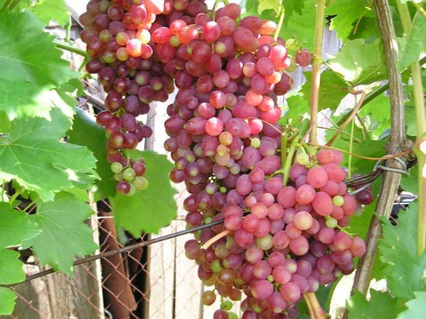 Описание и характеристики винограда сорта Кишмиш Лучистый, его плюсы и минусы