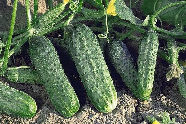 Лучшие сорта огурцов для открытого грунта Урала и правила выращивания