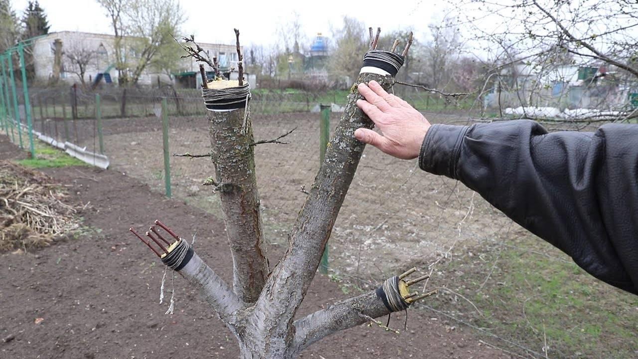 Особенности весенней прививки персикового дерева