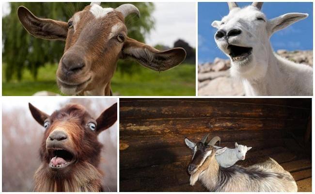 Известные способы доения коз в домашних условиях