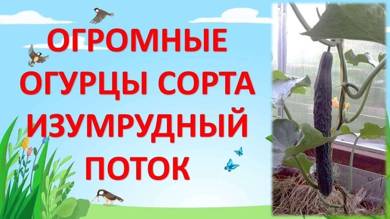 Огурец изумрудный поток: описание сорта и 3 правила агротехники