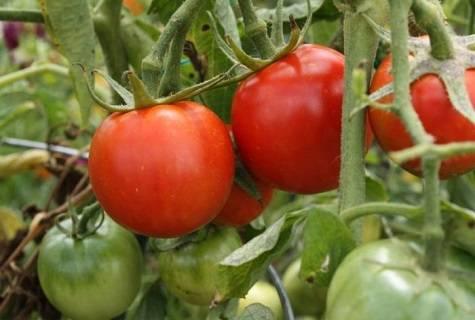 Неприхотливый и некапризный сорт, требующий минимального ухода — томат «толстушка»: выращиваем без хлопот