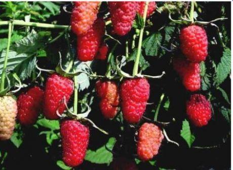 Малина полька: описание сорта, как сажать и ухаживать за ягодой