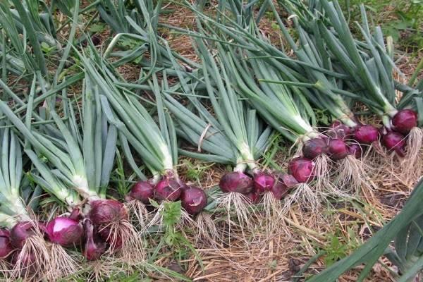 Выращивание крымского лука в средней полосе, особенности его хранения