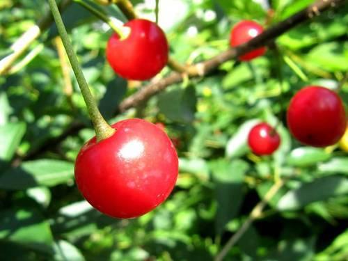 Выращивание вишни норд стар