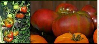 Описание сорта томата гавайский ананас, особенности выращивание и уход