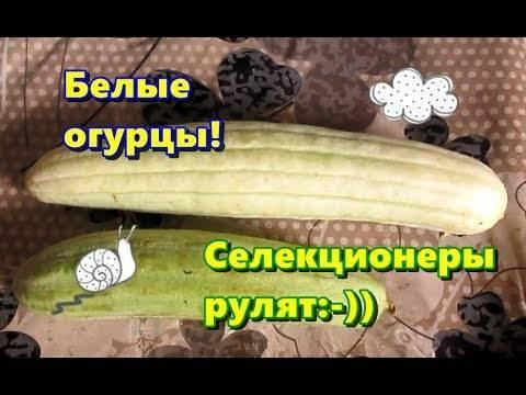 Особенности выращивания армянского огурца, его описание, посадка и уход