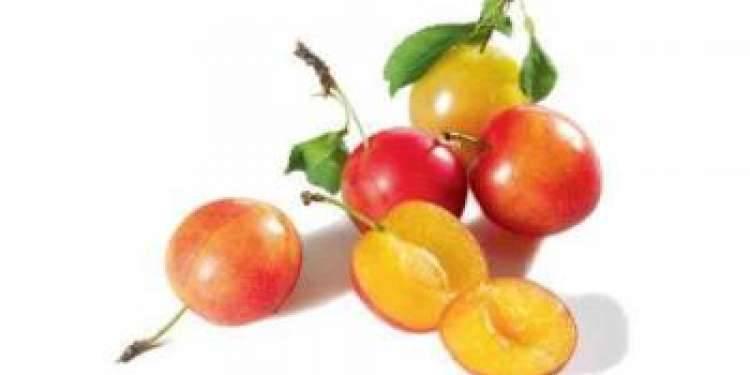 Слива: польза и вред для организма человека свежих и сушеных плодов