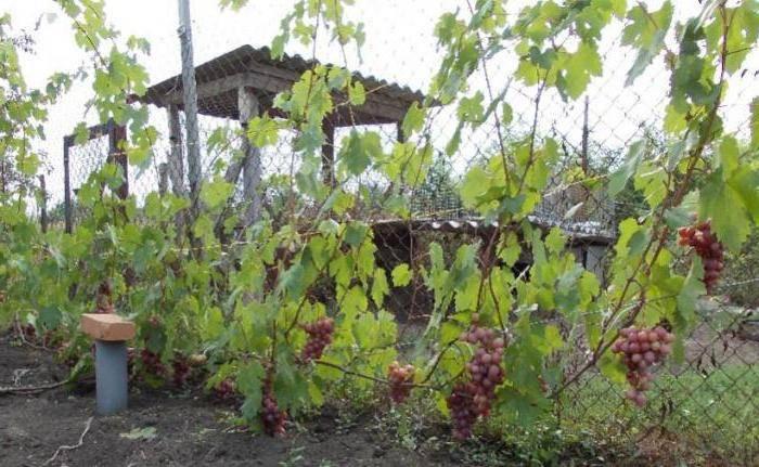 Высокоурожайный виноград «гурман»: описание и разновидности гибрида. тонкости посадки винограда «гурман» и уход за сортом