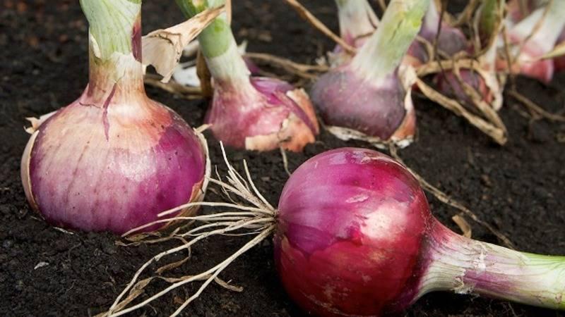 Как предшественники лука влияют на урожай: после чего следует его сажать? полезные советы