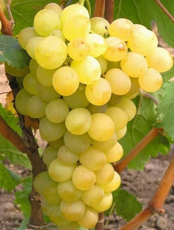 Сорт винограда амурский прорыв: описание и особенности выращивания