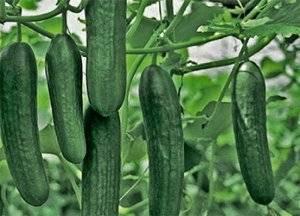 Чем особенны пучковые огурцы? как их правильно выращивать?