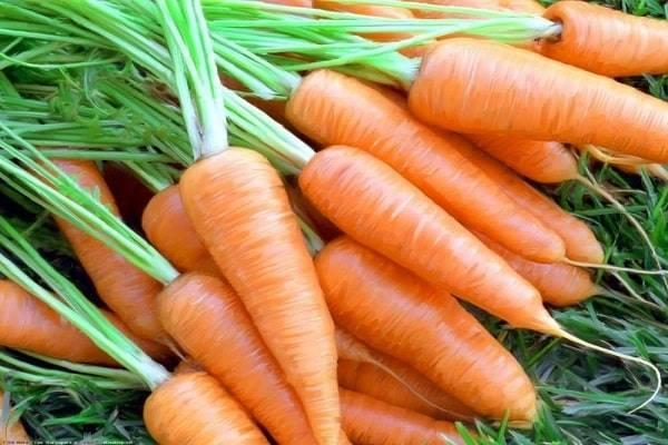Описание сорта моркови шантане и ее гибридов. выращивание, уход, болезни и вредители