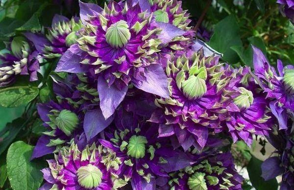 Клематисы 3 группы обрезки: лучшие сорта и секреты их выращивания