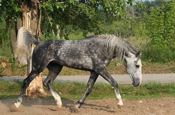 Тракененская порода лошадей.история и фото породы