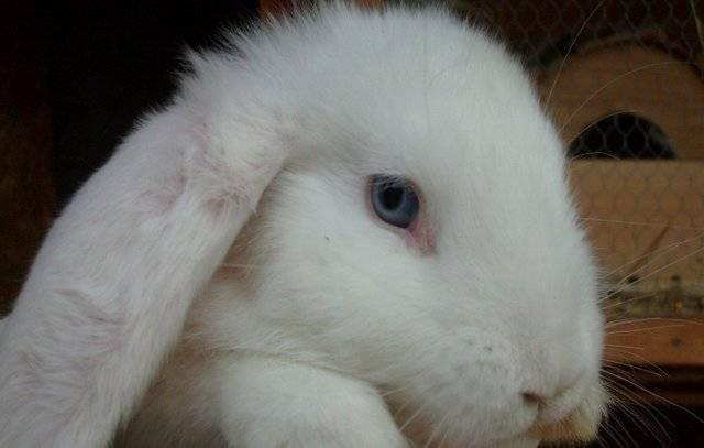 Уход за вислоухим кроликом бараном и его содержание