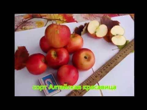Яблоня спартан: особенности сорта и ухода