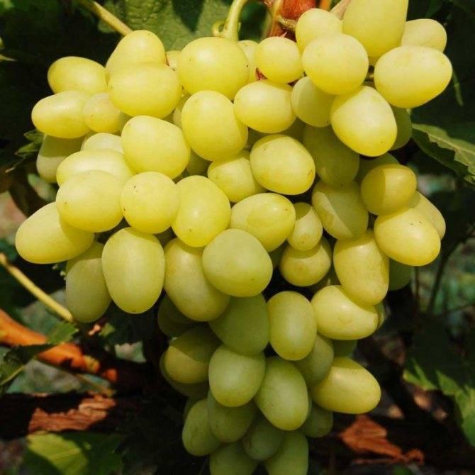 Виноград гарольд — ранний и устойчивый