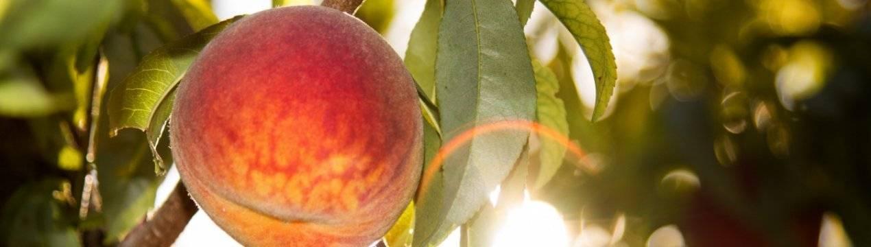 Описание сорта персика Киевский ранний, правила посадки и уход