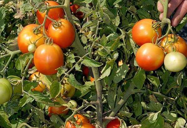 Томат гармошка: характеристика и описание сорта, урожайность с фото