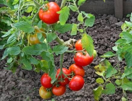 Томат дачник: отзывы, фото, урожайность