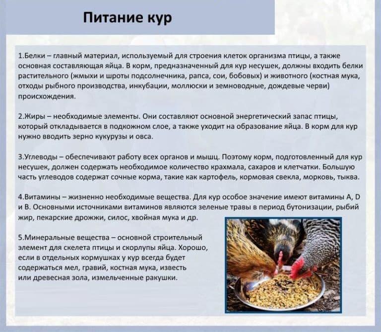 Сколько яиц несет курица в день и как увеличить продуктивность
