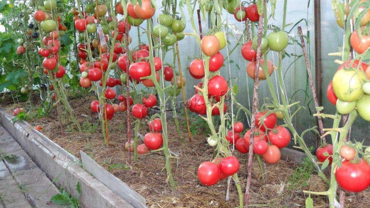 Сорт малиновка: характеристики томата, описание и отзывы