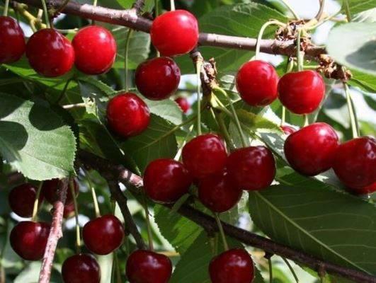 Вишня любская: описание и особенности выращивания самоплодного сорта