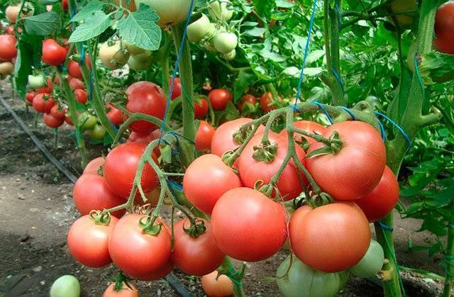 Яркий красавец на вашем огороде — современный гибрид «асвон»: описание, характеристики, особенности выращивания